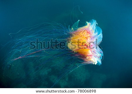 lion's mane jellyfish under water in sea of japan, Russia - stock photo