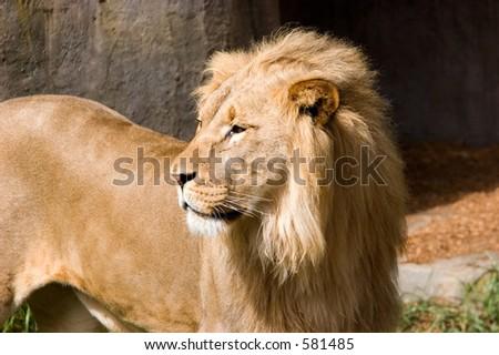 Lion @ San Francisco Zoo - stock photo