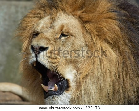 Lion showing its teeth