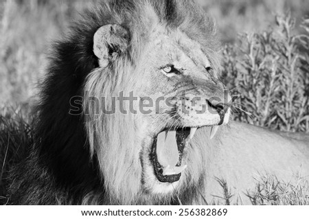 Lion showing some teeth - stock photo