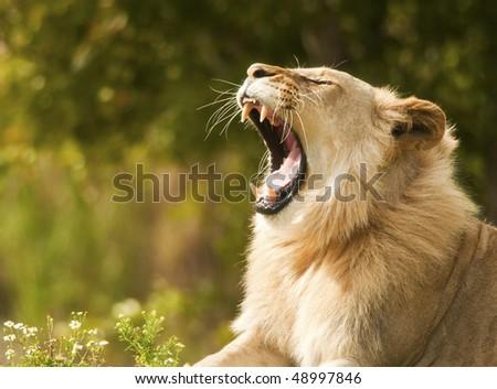 Lion Showing Teeth - stock photo