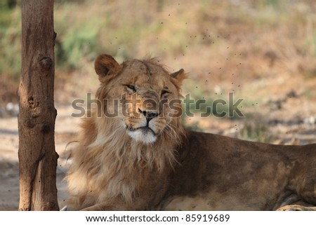 Lion: Sick lion laying under a tree