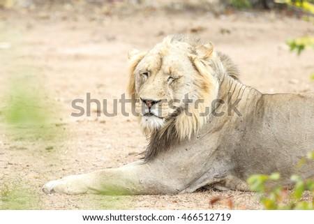 Lion sitting and resting on dry ground, Kruger National Park