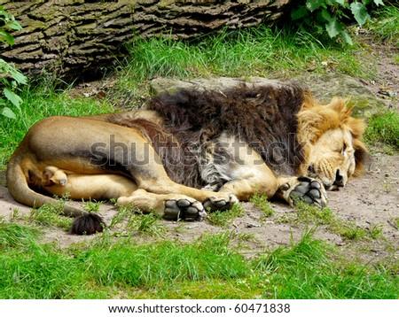 lion sleeping - stock photo