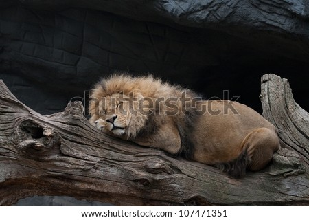 Lion sleeping on a tree trunk