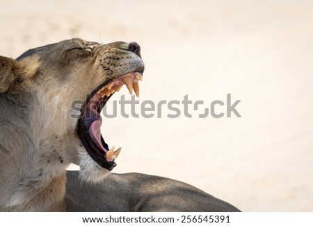 Lion Snarl exposing vicious teeth - stock photo