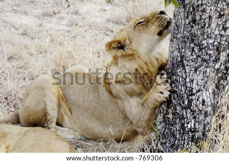 Lion, South Africa