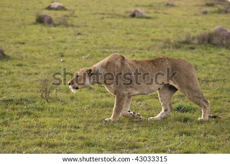 Lion stalking on the plains. - stock photo