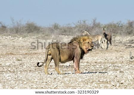 Lion stalking zebra in the Etosha National Park, Namibia. - stock photo