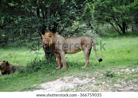 Lion standing at Kruger National Park, South Africa