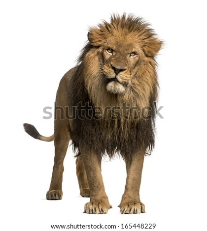 Lion standing, looking at the camera, Panthera Leo, 10 years old, isolated on white - stock photo