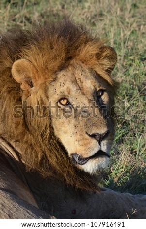 Lion Stare - stock photo