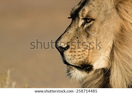 Lion Stare Head shot - stock photo
