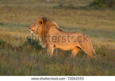 Lion stares across grassland in late afternoon light. - stock photo