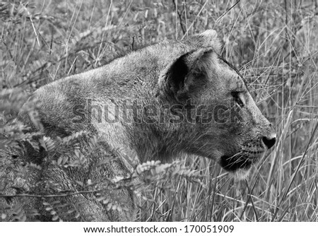 Lion staring into the long grass