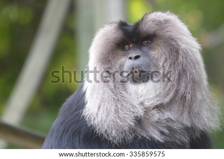 Lion-tailed Macaque in Toronto ZOO - stock photo