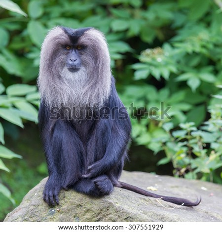 Lion-tailed Macaque (Macaca silenus) in it's natural habitat - stock photo