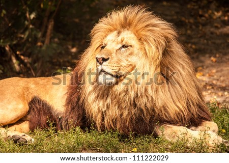 Lion the king - stock photo