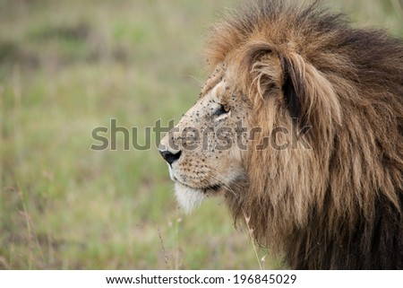 lion the king in the savannah of africa