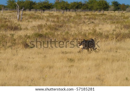 Lion the king of africa - stock photo
