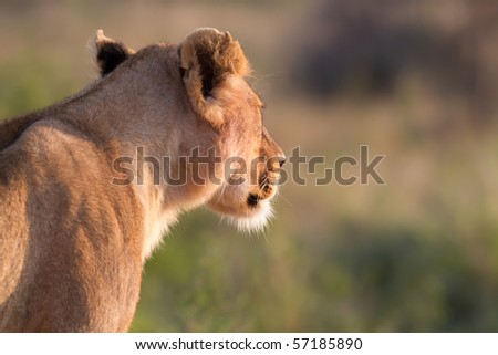 Lion the king of africa