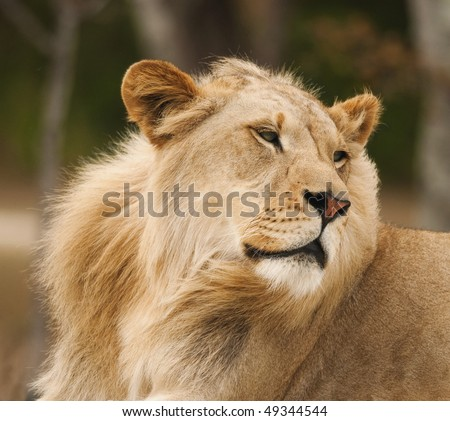 Lion Turning Head