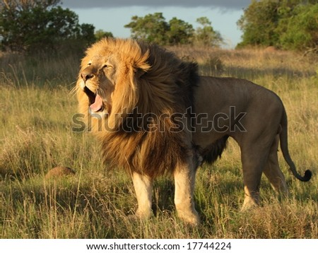Lion walking and yawning into the sun set. - stock photo