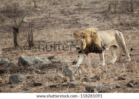 Lion walking in Kruger national park - stock photo