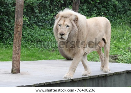 Lion Walking on an Elevated Plank - stock photo