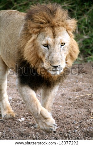 Lion walking through a dried river bed (Masai Mara; Kenya)