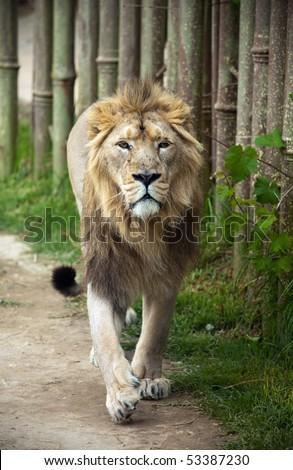 Lion walking towards camera - stock photo