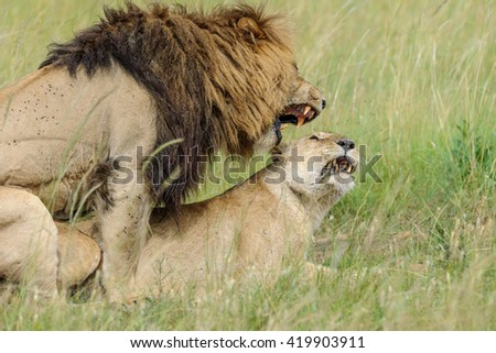 Lion wedding in the savannah of Africa - stock photo