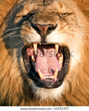 Lion with bared teeth - stock photo