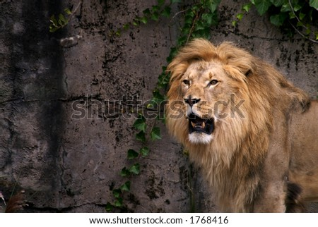 Lion with big mane - stock photo