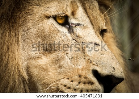 Lion with flies - stock photo