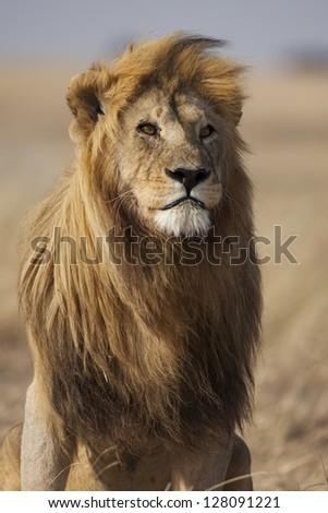 Lion with large, golden mane, Serengeti National Park - stock photo