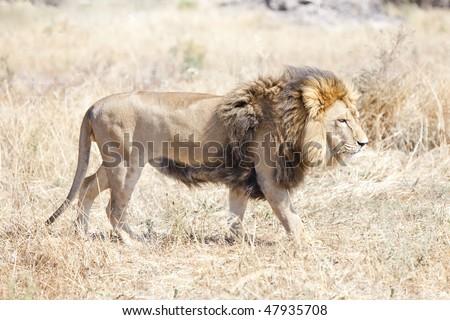 Lion wondering the hot African savannah - landscape exterior - stock photo