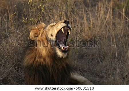 Lion yawning or roaring - stock photo