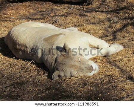 Lioness. - stock photo