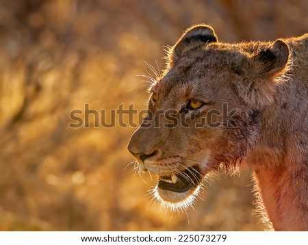 Lioness after kill - stock photo
