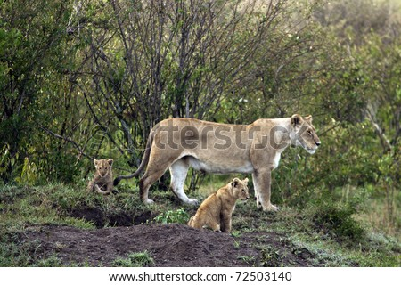 Lioness and Cubs at the Masai Mara in Kenya. - stock photo