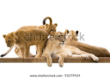 Lioness and cubs - isolated on white background - stock photo
