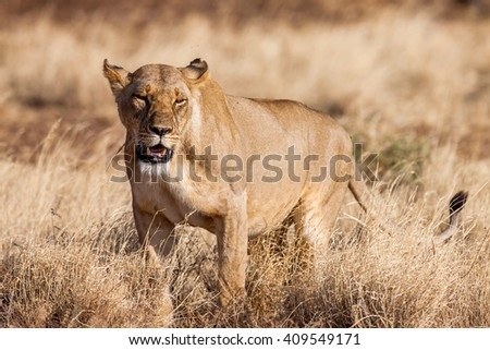 Lioness approach, walking straight towards the camera,