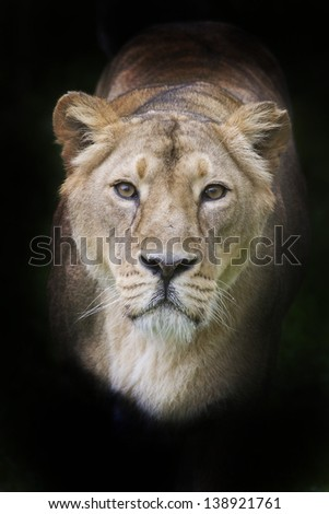 lioness at black background - stock photo