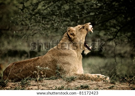 Lioness at Kruger National Park, South Africa - stock photo