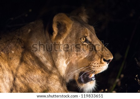 Lioness at night near Kruger National Park