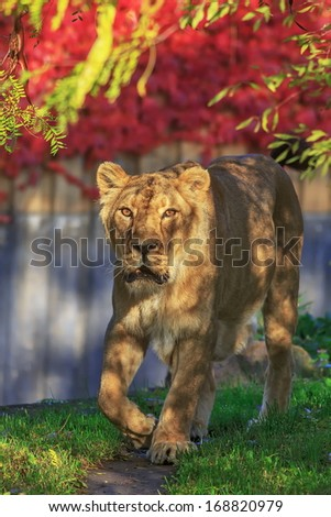 lioness at shadow - stock photo