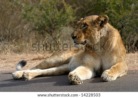 Lioness basking in the sun in the Kruger National Park (South Africa) - stock photo