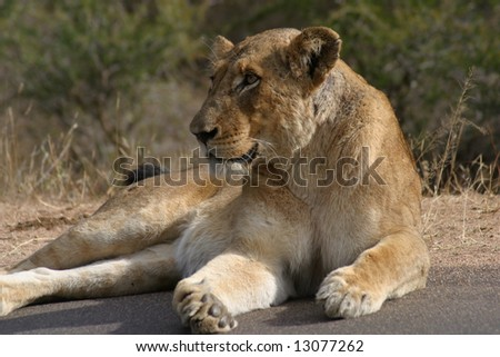 Lioness basking in the sun (Kruger; South Africa) - stock photo
