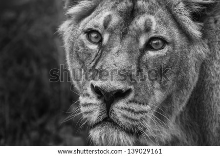 lioness black and white - stock photo